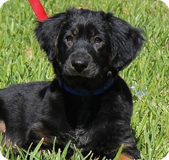 Shepherd (Unknown Type) Mix Puppy for adoption in Largo, Florida - Bruiser