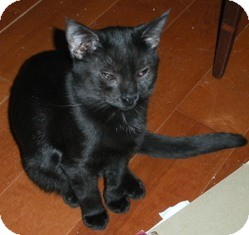 Domestic Shorthair Cat for adoption in Centreville, Virginia - Walnut