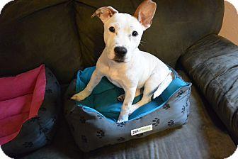 Pointer Mix Puppy for adoption in Phillips, Wisconsin - Baxter