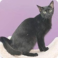 Domestic Shorthair Cat for adoption in Miami, Florida - Jade