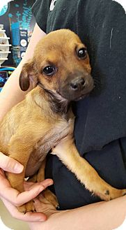 Terrier (Unknown Type, Small) Mix Puppy for adoption in Fresno, California - Stella
