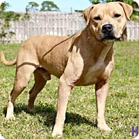 Black Mouth Cur/Pit Bull Terrier Mix Dog for adoption in Sebastian, Florida - Brody