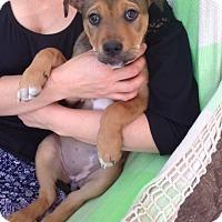 Adopt A Pet :: Remy - Las Vegas, NV