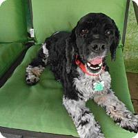 Adopt A Pet :: Truman - Kannapolis, NC
