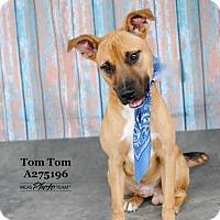 Adopt A Pet :: TOM TOM - Conroe, TX