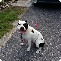 American Staffordshire Terrier Dog for adoption in Tampa, Florida - PHANTOM (CP KW)