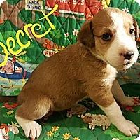 Adopt A Pet :: Secret - Niagra Falls, NY
