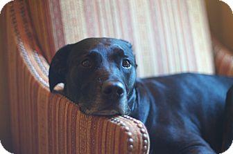 Labrador Retriever Mix Dog for adoption in Evergreen, Colorado - Jetstream