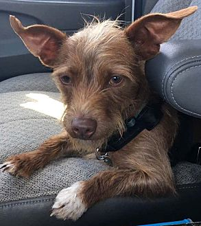 Dachshund/Terrier (Unknown Type, Small) Mix Dog for adoption in Indianapolis, Indiana - Chipper