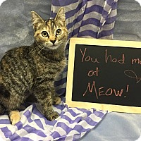 Domestic Shorthair Kitten for adoption in Lexington, North Carolina - MABLE