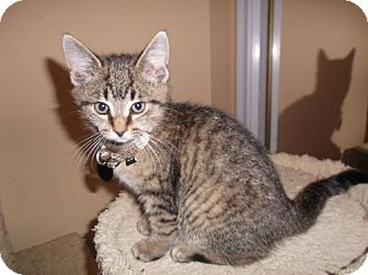 Domestic Shorthair Kitten for adoption in Livonia, Michigan - Ib litter - Fiji