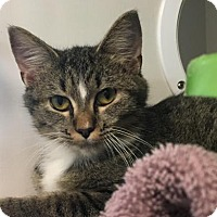 Domestic Shorthair Cat for adoption in Manteo, North Carolina - Stormy