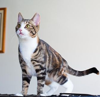 American Shorthair Cat for adoption in Santa Monica, California - Drew