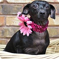 Adopt A Pet :: Spice - Benbrook, TX