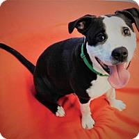 Adopt A Pet :: Pirate - Green Bay, WI