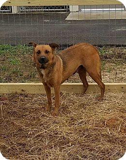 German Shepherd Dog Mix Dog for adoption in Lexington, Tennessee - Choco