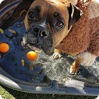 Adopt A Pet :: Luna 2 - Denver, CO