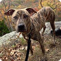 Adopt A Pet :: Bruce - Bronx, NY