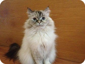 Himalayan Cat for adoption in Huntsville, Ontario - Luna - Princess!