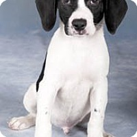 Adopt A Pet :: Dodger*ADOPTED!* - Chicago, IL