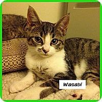 Adopt A Pet :: Wasabi - Miami, FL