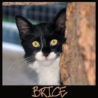Domestic Mediumhair Cat for adoption in Alamogordo, New Mexico - BRICE