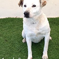 Labrador Retriever Mix Dog for adoption in San Diego, California - Annabelle