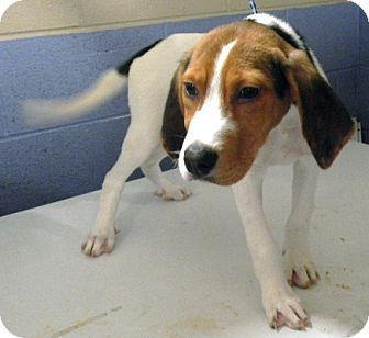 Coonhound Mix Puppy for adoption in Atlanta, Georgia - Juicy Fruit
