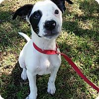 Adopt A Pet :: Jack - Norman, OK