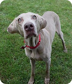 Weimaraner Dog for adoption in Valparaiso, Indiana - Camille