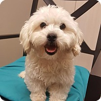 Bichon Frise Dog for adoption in Edina, Minnesota - Paloma D161603: PENDING ADOPTION