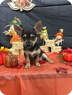 Blue Heeler/Terrier (Unknown Type, Small) Mix Puppy for adoption in Seattle, Washington - A - PUPPY - 1 Left