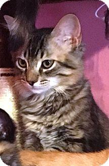 Domestic Shorthair Kitten for adoption in Lake Elsinore, California - Max