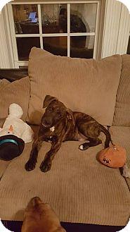 Plott Hound/Labrador Retriever Mix Puppy for adoption in Franklin, Virginia - Max