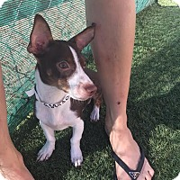 Dachshund/Chihuahua Mix Puppy for adoption in Mesa, Arizona - PJ
