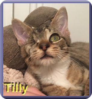 Domestic Shorthair Kitten for adoption in Aldie, Virginia - Tilly
