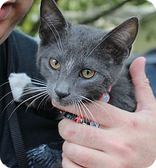 Russian Blue Kitten for adoption in Ocean Springs, Mississippi - Mittens