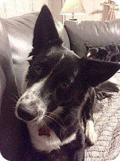 Border Collie Dog for adoption in Boston, Massachusetts - Ella Fitzgerald