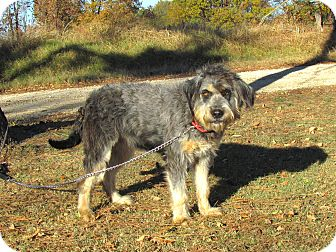Bearded Collie/Schnauzer (Standard) Mix Dog for adoption in Newburgh, New York - ZANEY