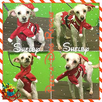 Terrier (Unknown Type, Small) Mix Dog for adoption in South Gate, California - Shelby