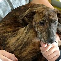 Adopt A Pet :: Brittney - Cleburne, TX