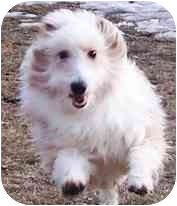 Bichon Frise/Sheltie, Shetland Sheepdog Mix Dog for adoption in Osseo, Minnesota - Buzby