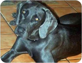 Weimaraner Dog for adoption in Eustis, Florida - Taz  **ADOPTED**