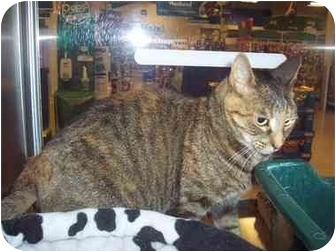 Domestic Shorthair Cat for adoption in Yorba Linda, California - Gilly