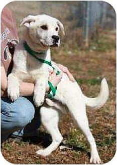 Labrador Retriever/St. Bernard Mix Dog for adoption in Middletown, New York - Glacier