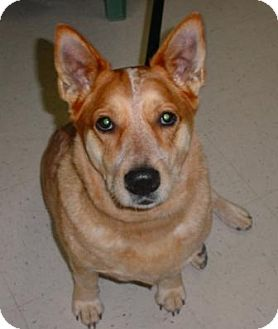 Australian Cattle Dog Mix Dog for adoption in Lockhart, Texas - Suzie Q