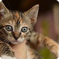 Adopt A Pet :: Cocoa - Brooklyn, NY