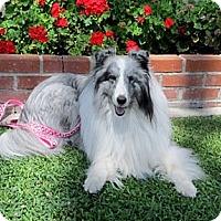 Adopt A Pet :: Callie - La Habra, CA