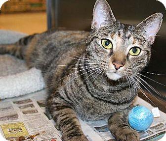 Domestic Shorthair Cat for adoption in Philadelphia, Pennsylvania - Roxanne