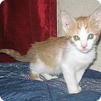 Adopt A Pet :: Cheeto - Phoenix, AZ